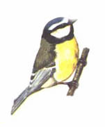 An agile, acrobatic bird, the blue tit is most often seen flitting on and off bird feeders. In winter, family flocks of blue tits are joined by great tits, long-tailed tits and other woodland species as they search for food. Average of 2.9 per garden and an increase of 17.2% since 1979