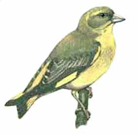 Climbing the charts, the greenfinch moved up one place in the survey this year. They also feed from nut feeders. Average of 1.83 per garden and an increase of 83% since 1979