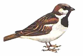 Top of the popular garden birds. Often seen in small flocks. House sparrows are sedentary, rarely moving more than 2 kilometres from their birthplace.  Average of 4.56 sparrows per garden and a decline of 54.4% since 1979.