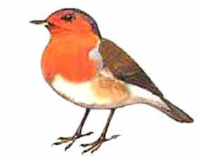The only garden birds to sing throughout the winter, with both males and females holding winter territories. In winter, some robins migrate from Europe to the UK. Average of 1.28 per garden and a decline of 36% since 1979.